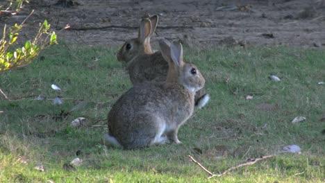 Australia-Murramarang-Beach-Bunny-Rabbits-Sitting-On-Grass-Pan