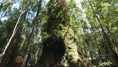 Australia-Otway-Np-Gum-Tree-Tilts-Up