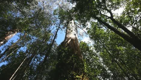 Australia-Otway-Np-Gum-Tree-View-Up