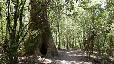 Australia-Otway-Np-Tree-And-Path