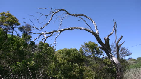 Australia-Point-Lonsdale-Gnarled-Tree