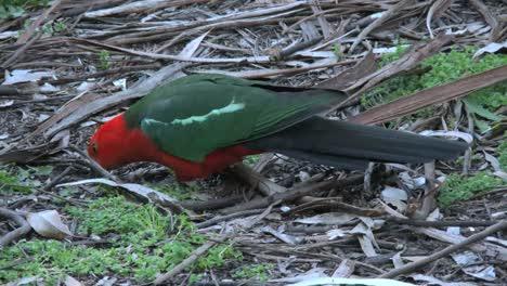 Australia-Yarra-Ranges-King-Parrot-Pecking-On-Ground