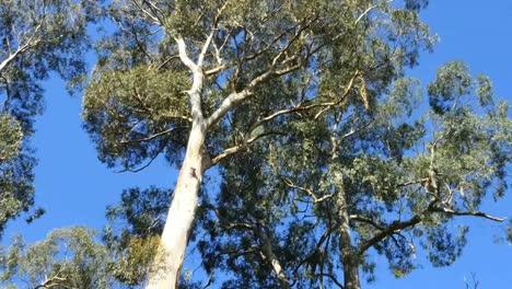 Australia-Yarra-Ranges-National-Park-Gum-Forest-Tilt-Up