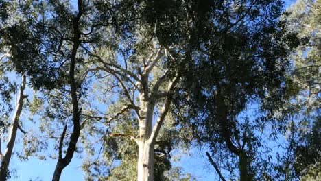 Australia-Yarra-Ranges-Gum-Forest-Tilt-Up