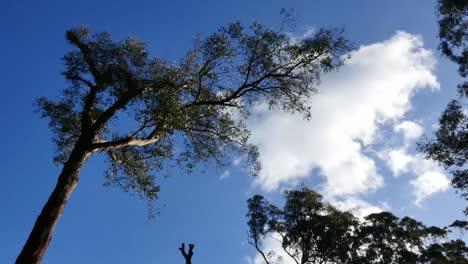 Australia-Yarra-Ranges-Gum-Tree-And-Clouds-Zoom-In