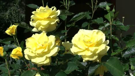 Australia-Yellow-Roses