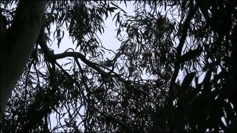 Australia-Bird-In-Gum-Tree