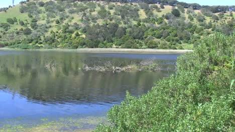 Australia-Black-Swan-On-Lake-Island-Zoom-Out