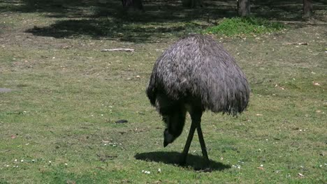 Australia-Emu-Eating-On-Ground