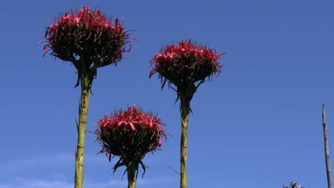 Australia-Flame-Lily-Or-Gymea-Lily-On-Stalks-Against-Blue-Sky-Pan-And-Zoom