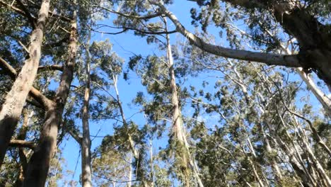 Australia-Gum-Trees-At-Pipers-Lookout-Tilt-Up