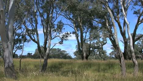 Australia-Gums-And-Grass