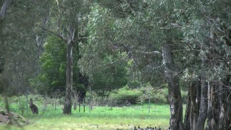 Australia-Kangaroos-Hop-Beyond-Trees