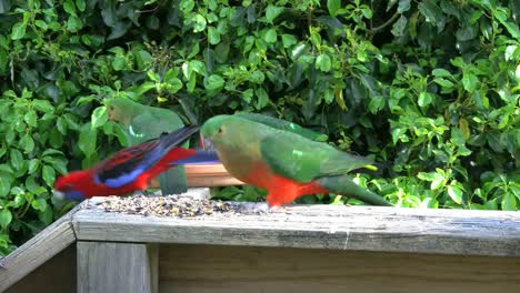 Australia-Parrots-Feeding-King-Parrot-Male-And-Female-Flying-Around