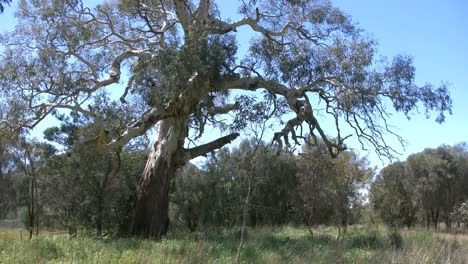 Australia-Road-With-Old-Gum-Tree