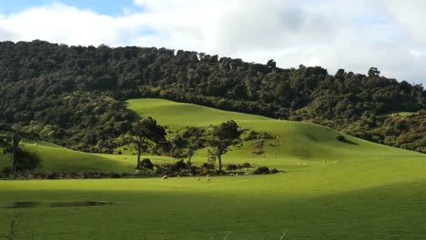 New-Zealand-Catlins-Podocarp-Trees-And-Sheep
