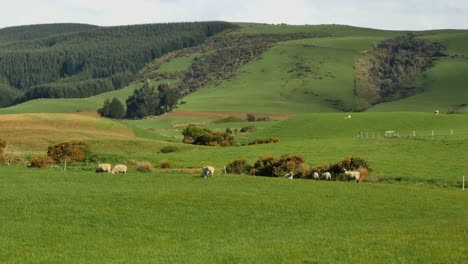 New-Zealand-Catlins-Sheep-And-Pasture