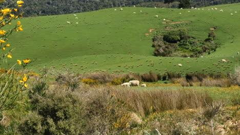 New-Zealand-Catlins-Sheep-Beyond-Weeds