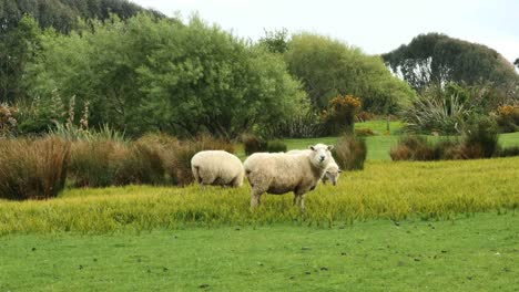 New-Zealand-Catlins-Sheep-Eating