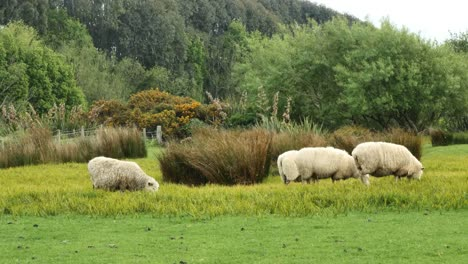 New-Zealand-Catlins-Sheep-Look-Around