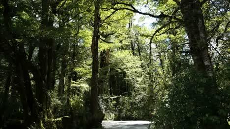 New-Zealand-Rainforest-With-Flying-Bugs-Fiordland