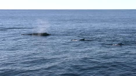New-Zealand-Pod-Of-Swimming-Whales