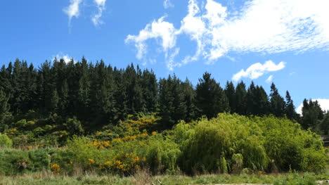 Escoba-Escocesa-Y-árboles-De-Nueva-Zelanda
