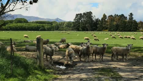 New-Zealand-Sheep-By-Fence