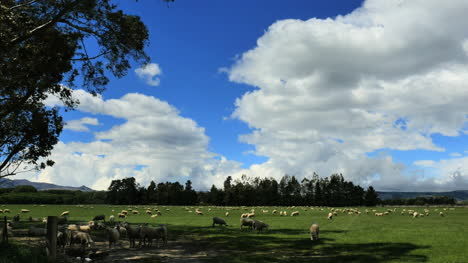 New-Zealand-Sheep-Under-Clouds