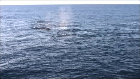 New-Zealand-Whales-Swimming-Along-Zooms-In