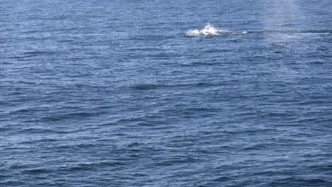 New-Zealand-Whales-Swimming