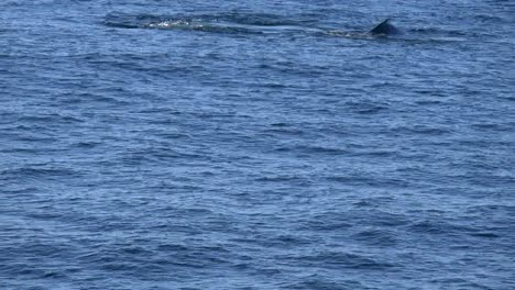 New-Zealand-Whales-Tail