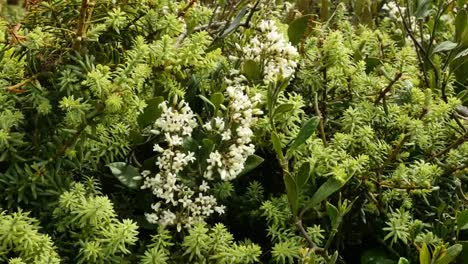 New-Zealand-White-Flowers-On-Shurb-Mov