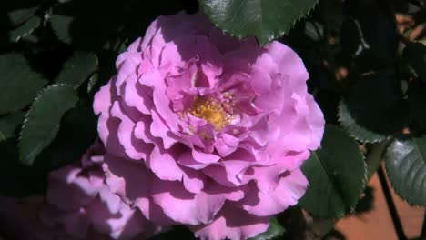 Pink-Rose-Shaking-In-Wind
