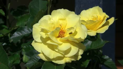Yellow-Rose-With-Bee-And-Fly