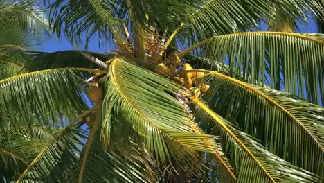 Aitutaki-Coconuts-On-Tree-With-Blowing-Fronds