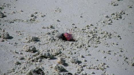 Aitutaki-Krabbe-Geht-In-Das-Loch-Hinein-Und-Wieder-Heraus