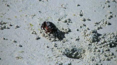 Aitutaki-Crab-Moves-On-Sand