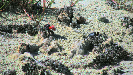 Aitutaki-Crabs-Interact
