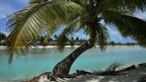 Aitutaki-Crooked-Palm-By-Lagoon