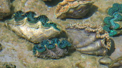 Aitutaki-Giant-Blue-Green-Giant-Clams-Under-Water