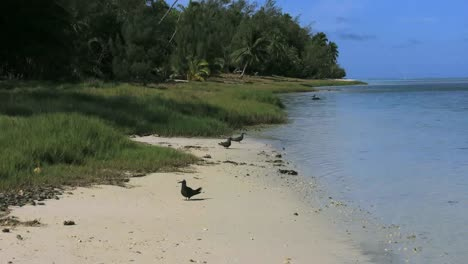 Aitutaki-Morning-Zooms-To-Birds-Stands-On-Shore