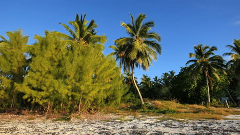 Aitutaki-Shore-Pines-And-Leaning-Palm-In-Sun