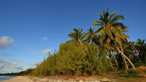 Aitutaki-Shore-Pines-And-Leaning-Palm-With-Blue-Sky