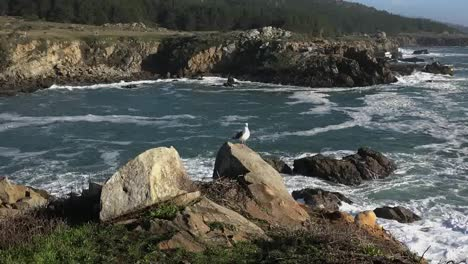 California-Gerstle-Cove-Zooms-To-Sea-Gull-At-Salt-Point