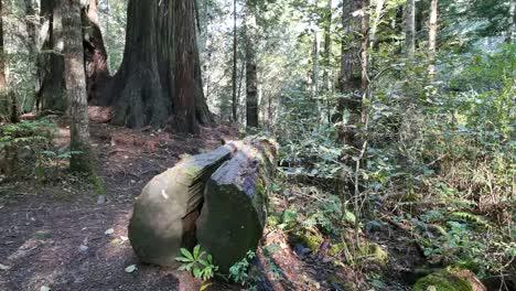 Parque-Nacional-De-La-Secoya-De-California-Dama-Pájaro-Johnson-Grove-Derribado-árbol