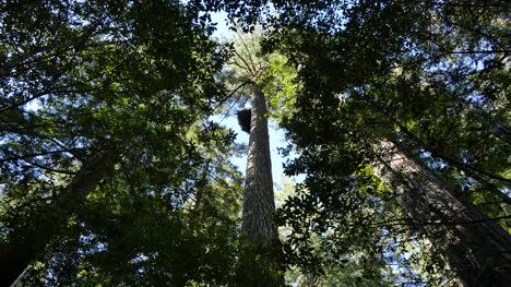 Parque-Nacional-De-La-Secoya-De-California-Lady-Bird-Johnson-Grove-Mirando-Hacia-Arriba