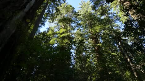 California-Redwood-National-Park-Lady-Bird-Johnson-Grove-Tilting-Down-To-Woods