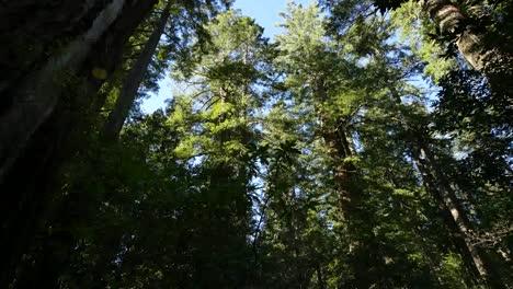 California-Redwood-National-Park-Lady-Bird-Johnson-Grove-Inclinarse-Hacia-El-Bosque