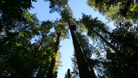 California-Redwood-National-Park-Lady-Bird-Johnson-Grove-Se-Inclina-Hacia-Arriba-Desde-Abajo